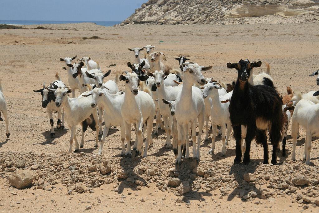 Ziegen / Goats