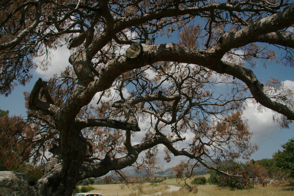 Nordzypern Bäume / Northern Cyprus Trees